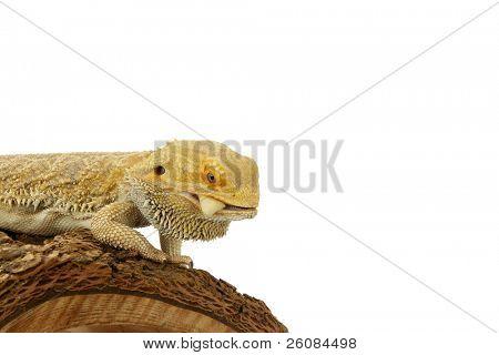 Bearded Dragon (Pogona vitticeps) eating on white background. poster