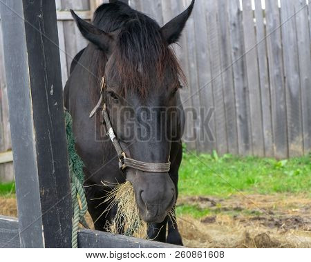 Horse Eating Hay At Renaissance Festival Event
