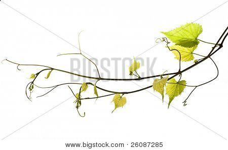 wild grape vine isolated on white