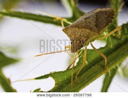 Squash beetle on thistle branch,Anasa tristis (Squash Bug)