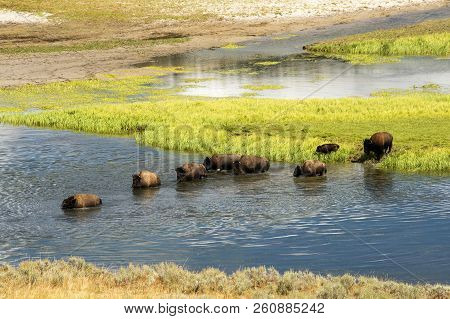 Bison Crossing The Yellowstone River At Hayden Valley In Yellowstone National Park.