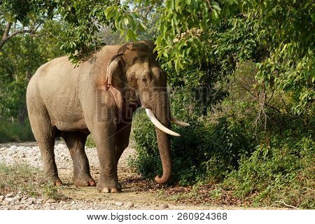 A large Indian elephant stands near a green tree. Elephant with white large tusks. poster
