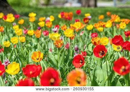 Beautiful Colorful Tulips With Green Leaf In The Garden With Blurred Many Flower As Background Of Co