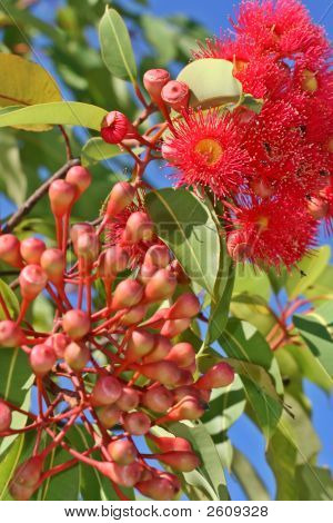 Australian Gum Tree In Flower