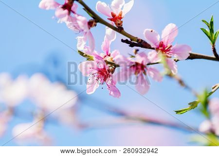 Spring Background Art With Pink Peach Blossom. Beautiful Nature Scene With Blooming Tree And Sun Fla