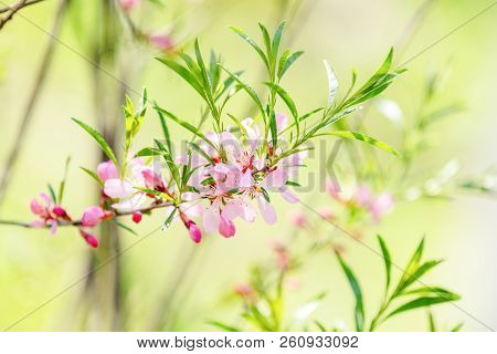 Spring Background Art With Pink Almond (prunus Tenella) Blossom. Beautiful Nature Scene With Bloomin