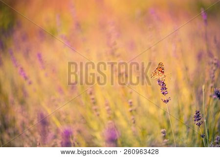 Lavender Bushes With Butterfly. Beautiful Summer Meadow Background. Inspirational Nature Closeup. Tr