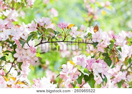 Cherry Blossom Spring Time Sunny Day Garden Landscape. Blossoming Pink Petals Fruit Tree Branch, Ten