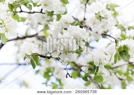 Apple Tree Flowers Blossom Macro View. Blossoming White Pink Petals Fruit Tree Branch, Tender Blurre