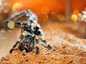 Tarantula spider. Dangerous insect in a special terrarium. poster
