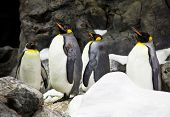 Crowded colony of King Penguins on the stone coast, mountains in the background poster