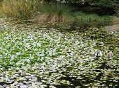 lake covered in lily pads with ducks poster