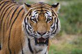 Female Siberian Tiger pausing at Tulsa Zoo poster