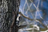 Red-bellied woodpecker  on a tree trunk. poster