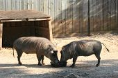 A pair of warthogs sharing their food togeather poster