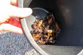 Children Holding A Black Bucket Plentiful With Signal Crayfish.