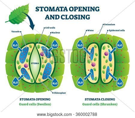 Stomata Opening And Closing Vector Illustration. Labeled Biological Plant Cells Educational Scheme.