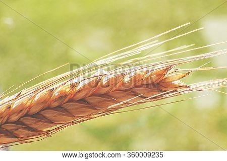 Rye Spike Closeup. Rye Spike On A Green Background. Rye Ear Macro