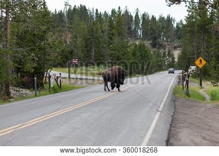 Yellowstone National Park, Usa - July 12 2014:  A Large Bison Bull Walking Across The Road With Dist