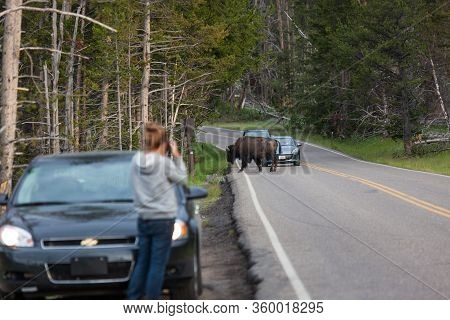 Yellowstone National Park, Usa - July 12 2014:  A Large Bison Bull Walking Across The Road In Front