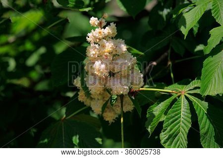 Nature Wakes Up In The Spring. City Streets In Bloom. Chestnut Tree Is A Symbol Of Kiev. Blossoming