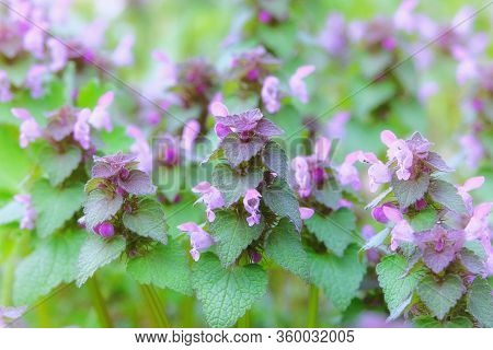 Wild Meadow In Spring. Melissa With Aromatic Pink Flowers Growing In A Clearing In Forest On A Sunny