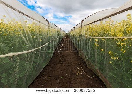 Oilseed Rape Growth In Protective Mesh Netting Greenhouse With Controlled Insect Pollination
