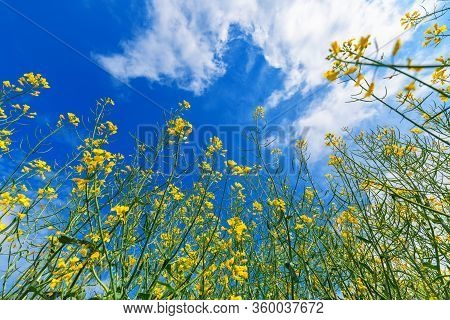 Oilseed Rape Field In Bloom, Cultivated Rapeseed Plantation On Bright Sunny Spring Day, Low Angle Vi