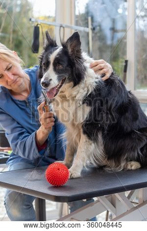 Grooming Of Border Collie Dog. Dog Is Sitting On The Grooming Table. Red Play Ball Is Placed On The