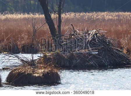 Sticks Of A European Beaver Castor Fiber Lodge On Forest Lake,