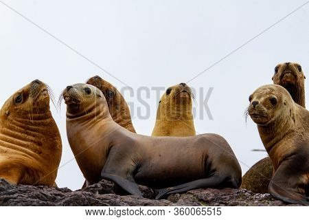 Group Of Female Sea Lions In One Island Near The Cost Of Patagonia.