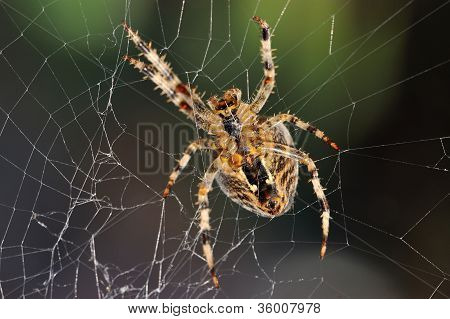 The bottom side of a garden spider in the repair of its web. poster