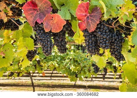 Pinot Noir Vineyard With Bunches Of Ripe Grapes At Harvest Time