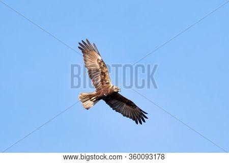 Birds Of Prey - Marsh Harrier (circus Aeruginosus), Landing On The Blue Sky. Czech Republic, Europe