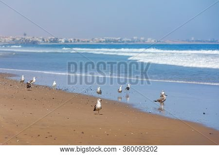 Kelp Gull, Larus Dominicanus, Known As The Dominican Gull On Coastline Of Atlantic Ocean, Namibia, A