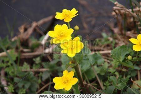 Yellow Buttercup Flower Along The Ditch Side In A Park In Nieuwerkerk Aan Den Ijssel In The Netherla