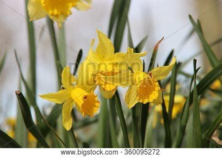 Yellow And White Daffodils In The Wild In A Park In Nieuwerkerk Aan Den Ijssel In The Netherlands