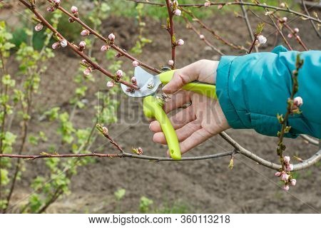 Male Farmer Looks After The Garden. Spring Pruning Of Fruit Tree. Man With A Pruner Shearing Tips Of