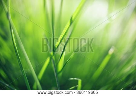 Closeup Of Fresh Green Grass For Wallpaper Design. Natural Summer Spring Greenery Background. Meadow