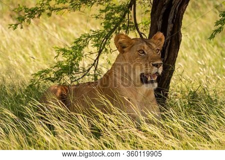 Scarred Lioness Lies In Grass Under Tree