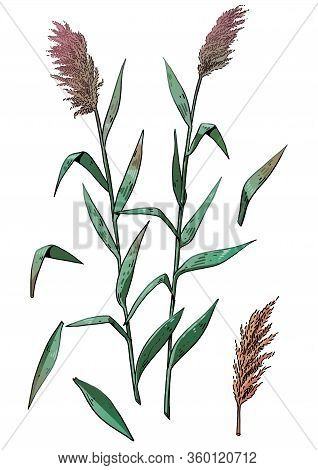 Reed Plant Illustration, Drawing, Colorful Doodle Vector