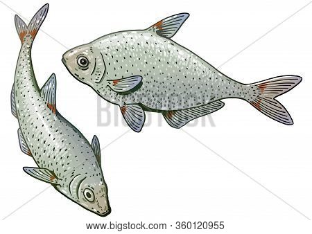 Bream Fish Illustration, Drawing, Colorful Doodle Vector