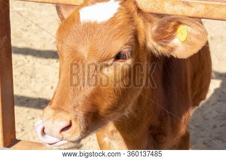 Brown Cow Is Close Up. Funny Curious Cow. Farm Animals. Cow Standing In The Farm. The Cow Licks Tong