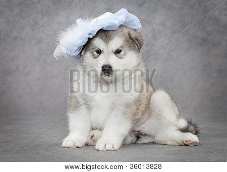 Portrait Of Malamute Puppy