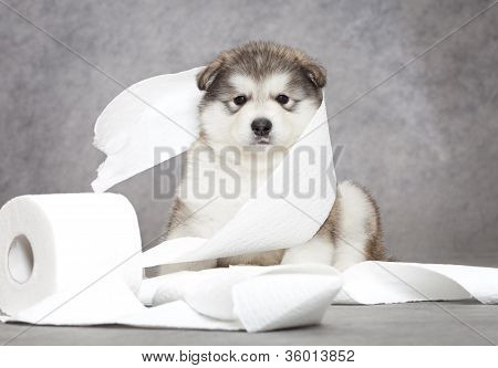 Malamute Puppy With A Tissue