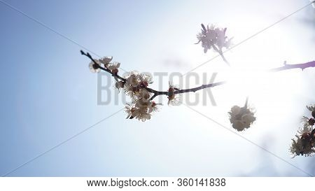 A Sprig Of Blooming Cherry Against The Background Of A Bright Dazzling Sun And Blue Sky In Spring