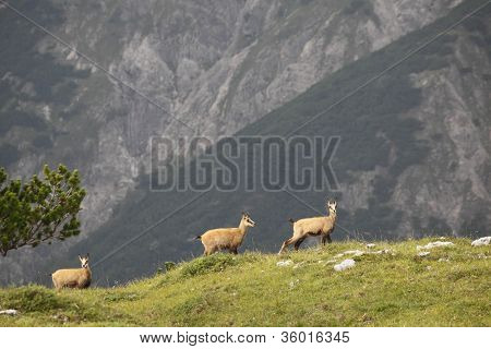 three chamois