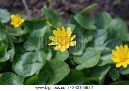 Beautiful bright yellow flowers of wild Adonis in spring on a background of green grass.