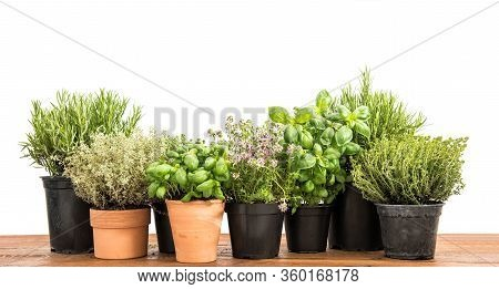 Fresh Green Potted Herbs. Basil, Rosemary, Thyme, Savory On White Background