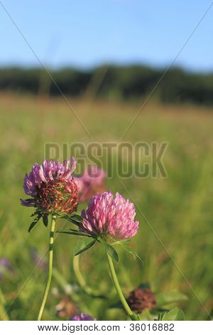 Blooming Zigzag Clover (trifolium Medium)